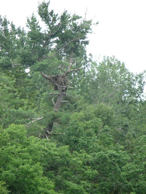 Eagle nest on the South River