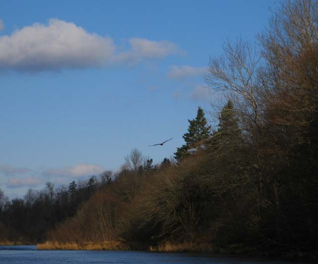 Eagle over South River